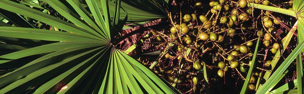testosteron saw palmetto